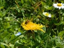 Abeille sur pissenlit bee