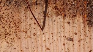 hideux varroa