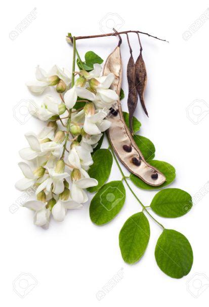 14562290-robinia-pseudoacacia-robinier-faux-acacia-robinier-faux-acacia-fleurs-des-feuilles-et-des-graines-su-banque-d27images